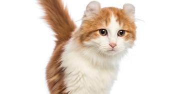 Katzenrasse American Curl