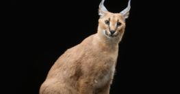 Katzenrasse American Lynx