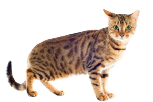 """Katzenrasse """"Bengalkatze"""""""